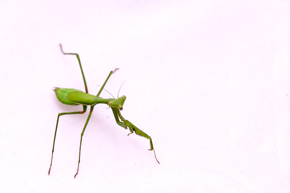 Praying Mantis by Timothy Oon