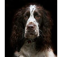 Springer Spaniel Photographic Print
