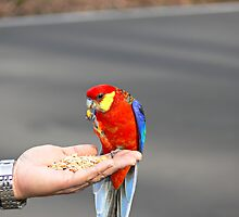 Rosella nibbling on a niblet by Sandra Chung