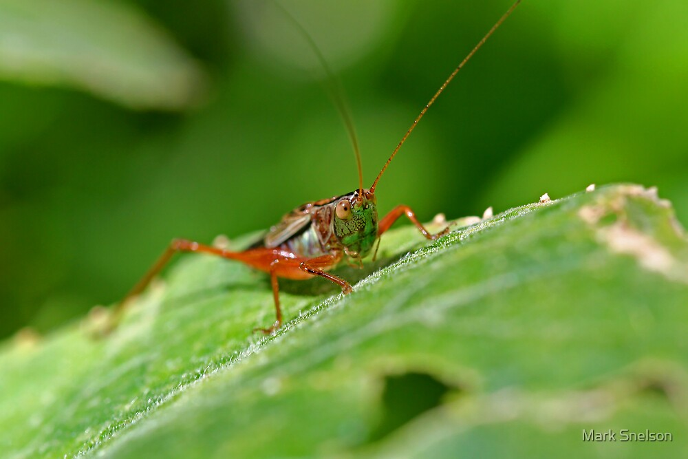 Grasshopper 15 by Mark Snelson