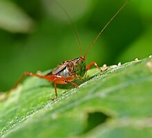 Grasshopper 15 by Mark Snelson