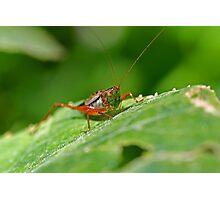 Grasshopper 15 Photographic Print