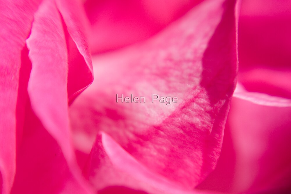 Pink Rose by Helen  Page