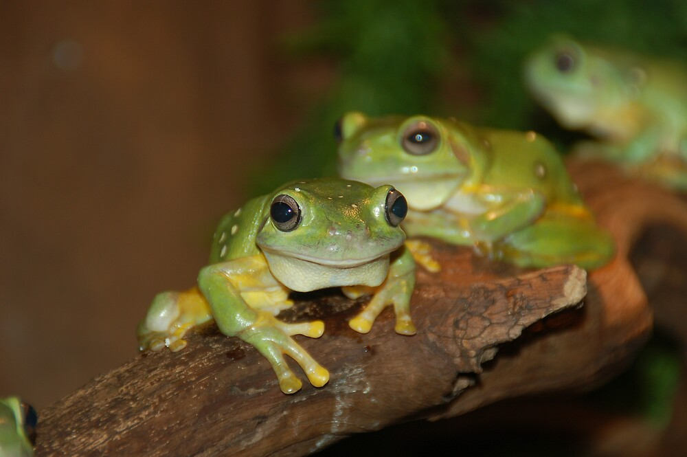 Green Tree Frogs by Chris Moysey