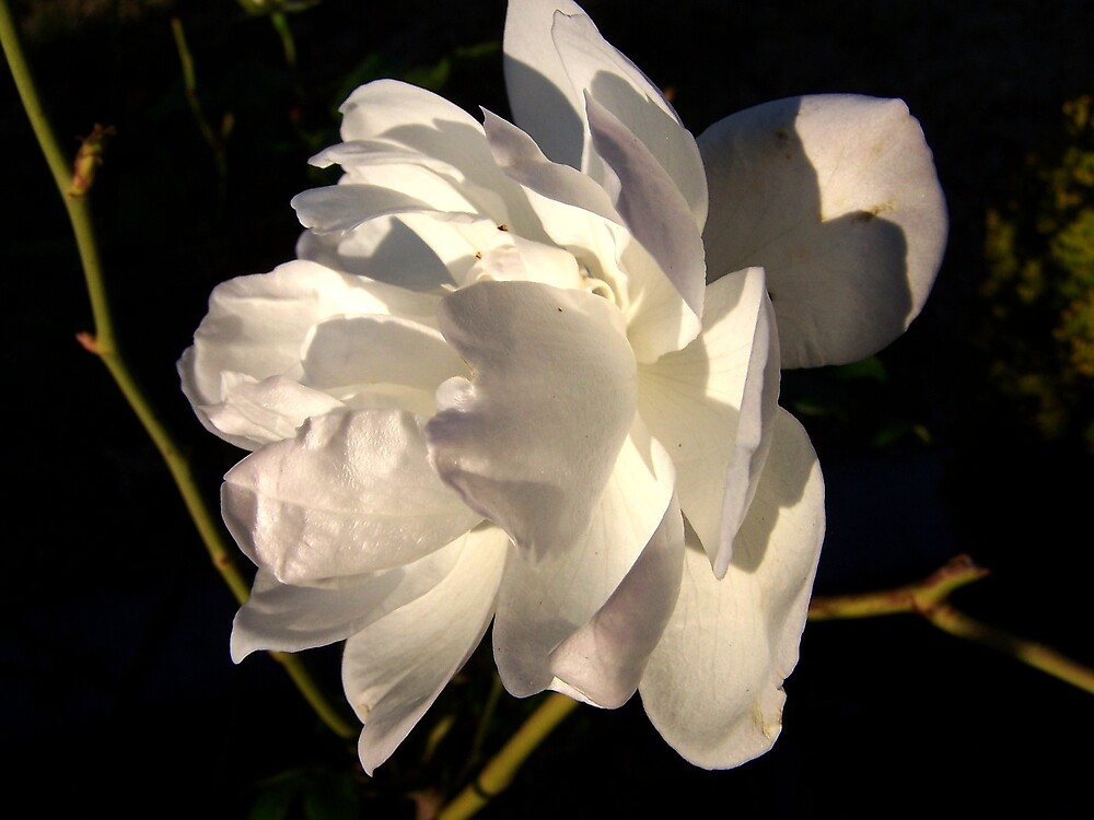 Iceberg rose by Lissy