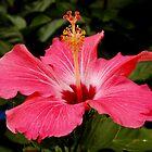 Hibiscus by AnnDixon