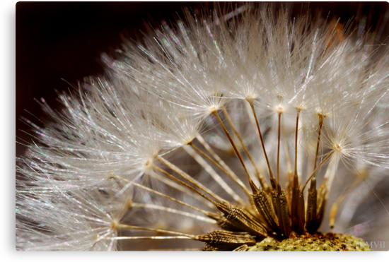 Dandelion by Frank Yuwono