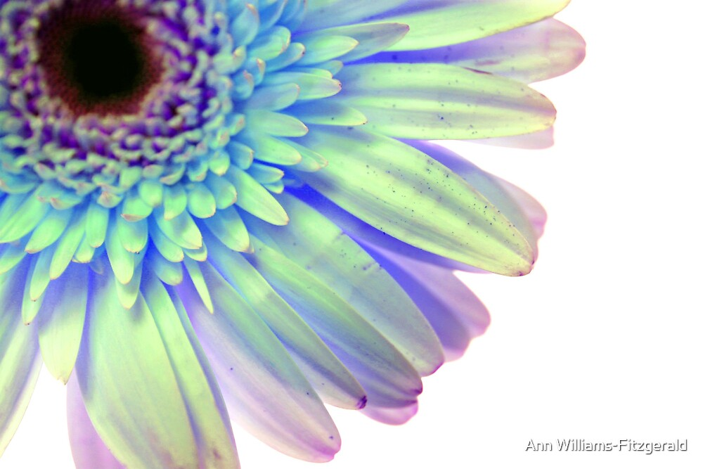 Gerbera Blue by Ann Williams-Fitzgerald