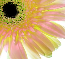 Gerbera Dreams by Ann Williams-Fitzgerald