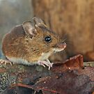 Wild Woodmouse by Furtographic