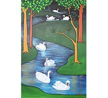 A Flock of Seven Swans-A-Swimming ..... Photographic Print