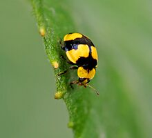 Yellow Ladybug 1 by Mark Snelson