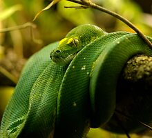 Green Tree Python by Timothy Oon