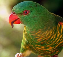 Lorikeet parrot by Keith Spencer