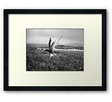 Arctic Tern Framed Print