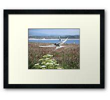 Arctic Tern-Sterna paradisaea Framed Print