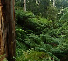Ferns, Otway Ranges by Joe Mortelliti