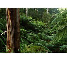 Ferns, Otway Ranges Photographic Print