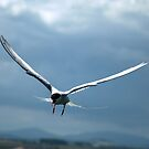 Sterna paradisaea-Arctic Tern by Lindamell