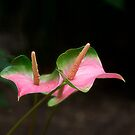 Anthurium  by Kathy Weaver