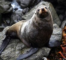 Nz Fur Seal by kies