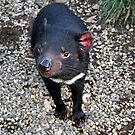Tasmanian Devil by kies
