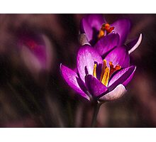 Winter Crocus Photographic Print