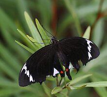 Butterfly by kies