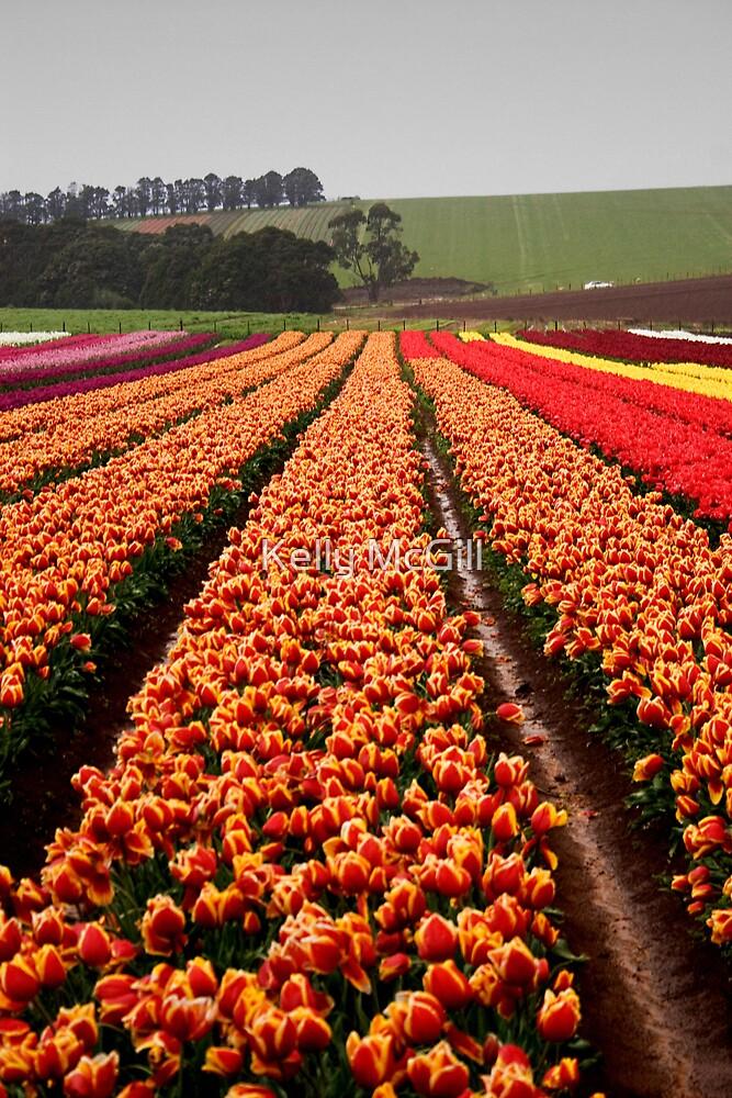 Tulip Fields by Kelly McGill