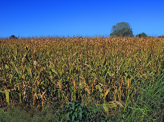 "Kansas Corn ""As High as the Elephants Eye"" by John  Kapusta"