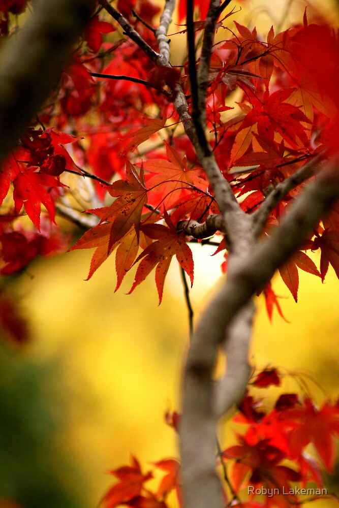 Maple leaves by Robyn Lakeman
