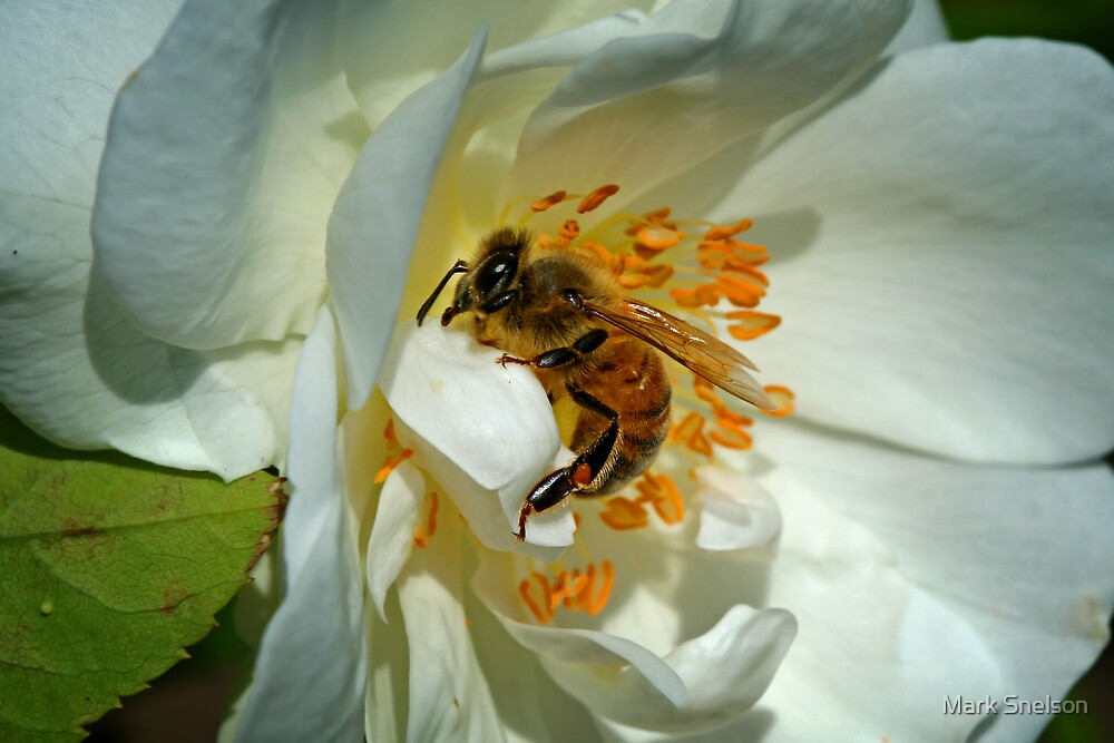 Busy Bee by Mark Snelson