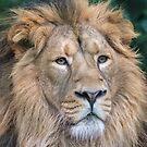 Asiatic lion (Panthera leo persica) by Stephen Liptrot