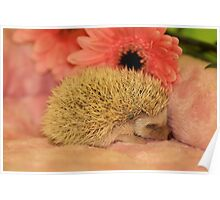 Sleeping Baby Hedgehog Poster
