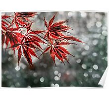 Japanese Red Maple Leaves  Poster