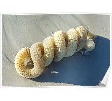 Spiral Whelk Egg Case Poster