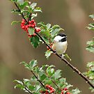 Chickadee in Holly Bush by Debbie  Roberts