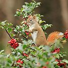 Squirrel in Holly by Debbie  Roberts
