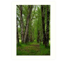 Silver Birch Trees, Otway Ranges Art Print