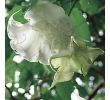 Trumpet Flowers Photographic Print