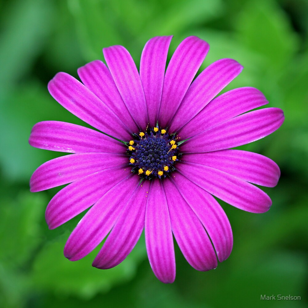 Livingstone Daisy by Mark Snelson