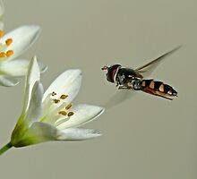 Hover Fly 2 by Mark Snelson