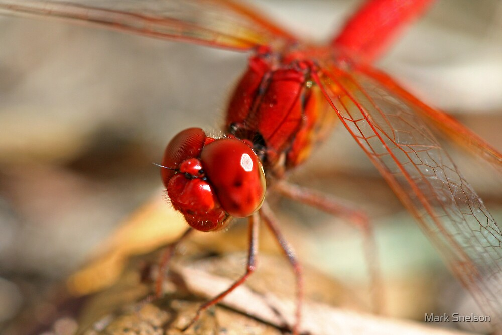 Red Dragonfly 7 by Mark Snelson