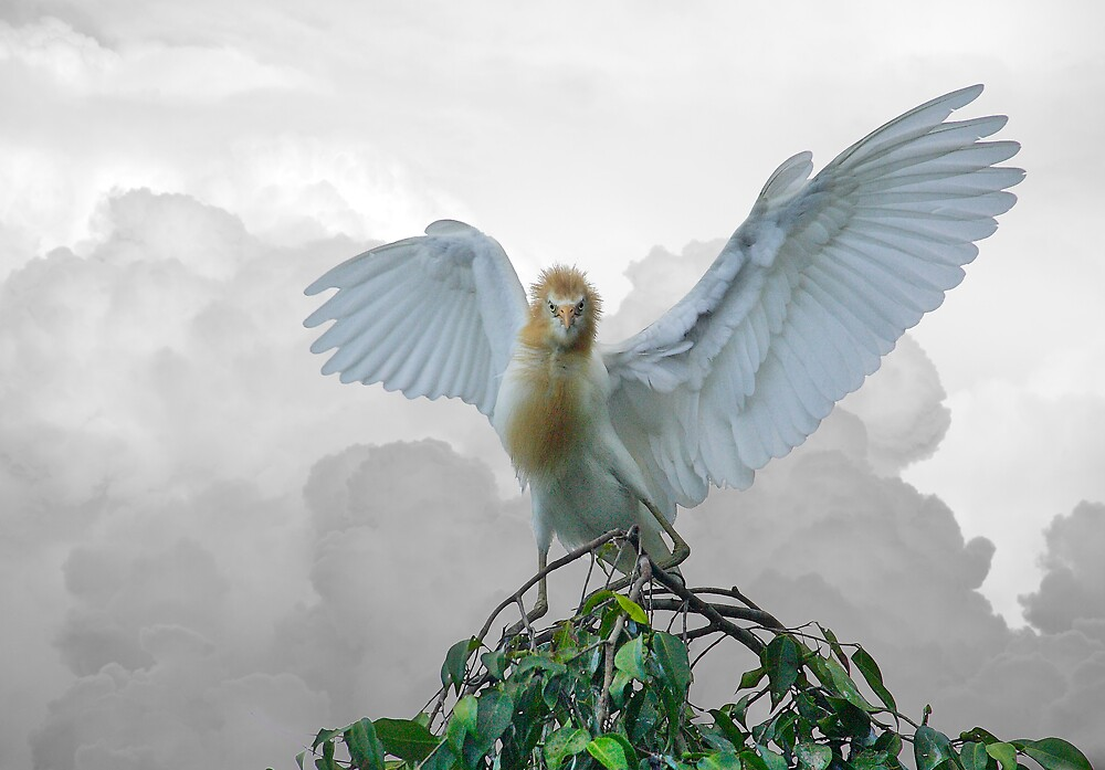 Cattle Egret by RedChevy