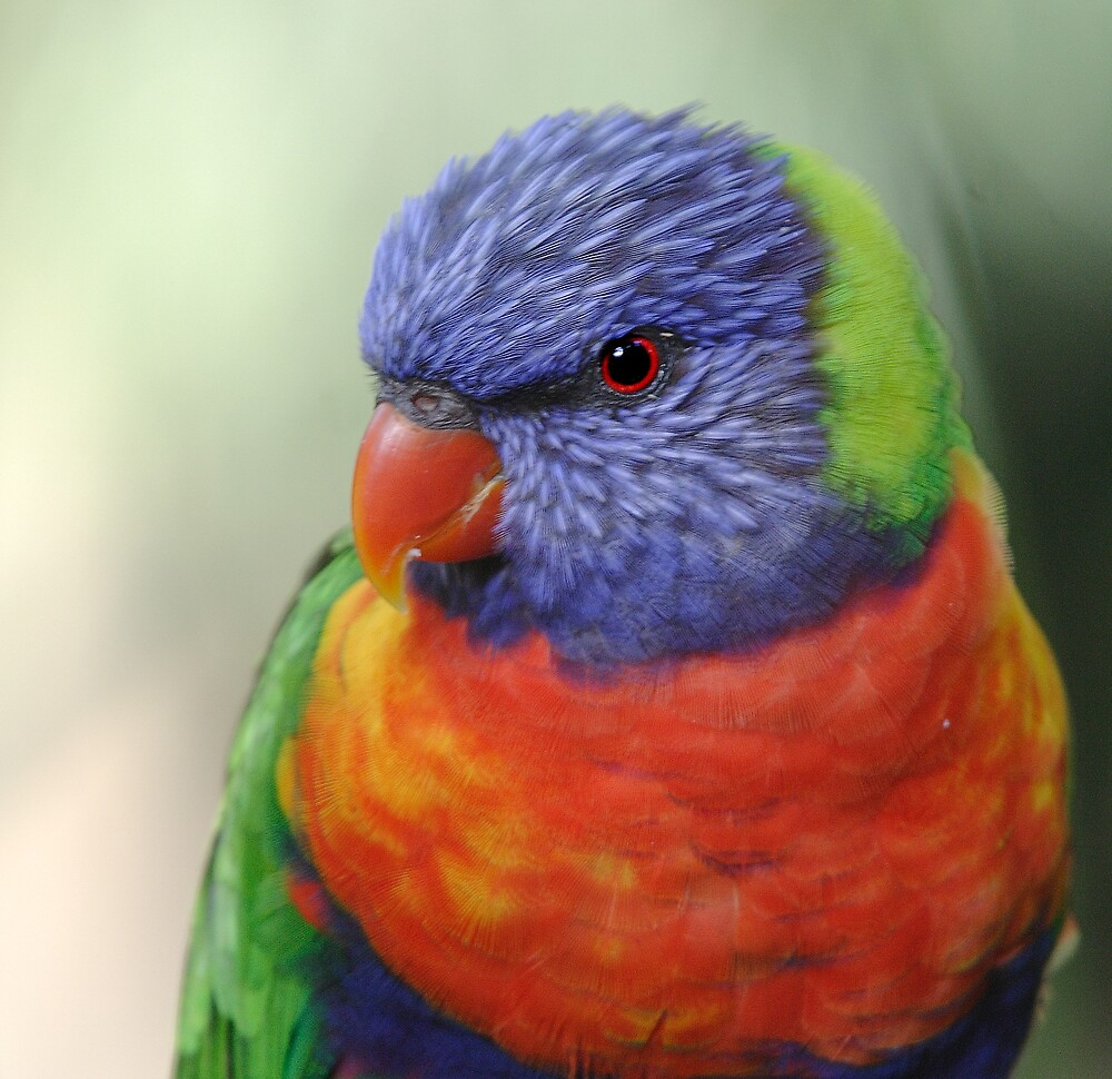 Eye of the Lorikeet by RedChevy