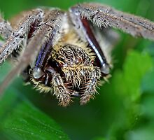 Orb Weaver by Mark Snelson