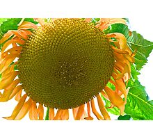 Super Sunflower Photographic Print