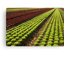 Lettuce Farm Canvas Print