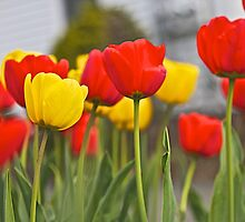 Our Red and Yellow Tulips by John Butler