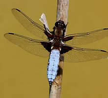 Broad-bodied Chaser by IJPhotography